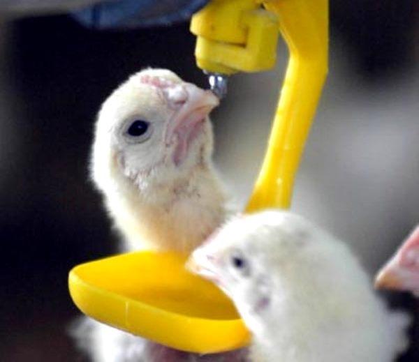 Выпаивание витаминов цыплятам