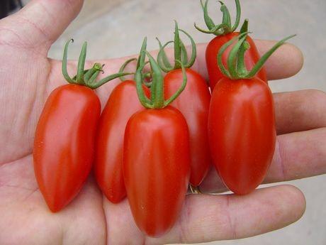 Плоды томата сорта «ракета»