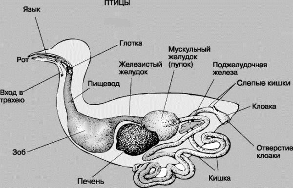 Анатомическое строение птиц