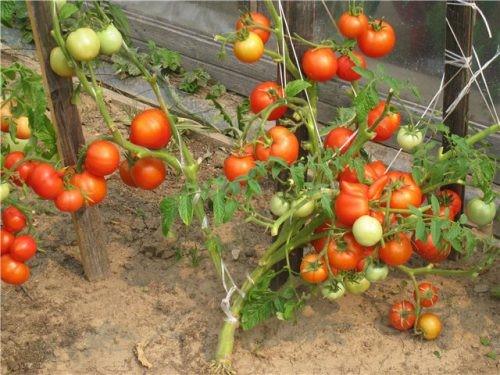 Куст из-за обилия плодов, несмотря на подвязку клонится к земле