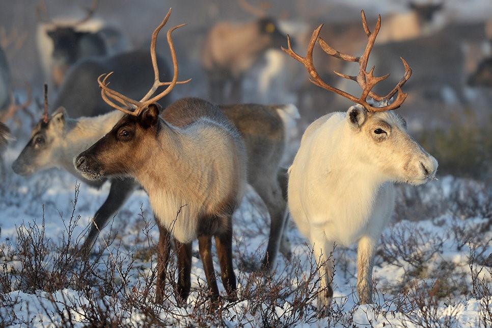 Сибирская язва была распространена среди северных оленей