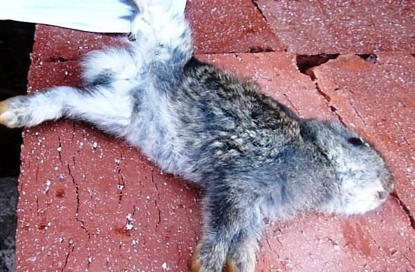 У крольчонка кокцидиоз