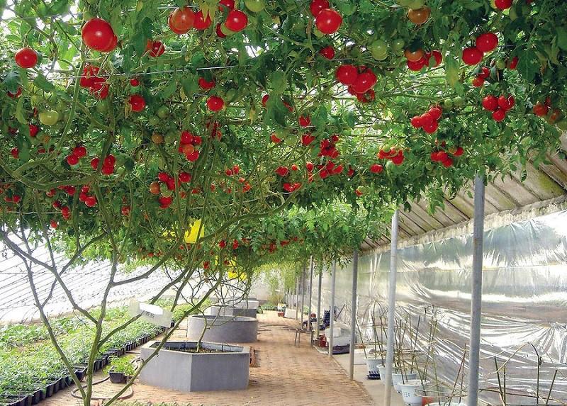 Спрут F1 – томатное дерево