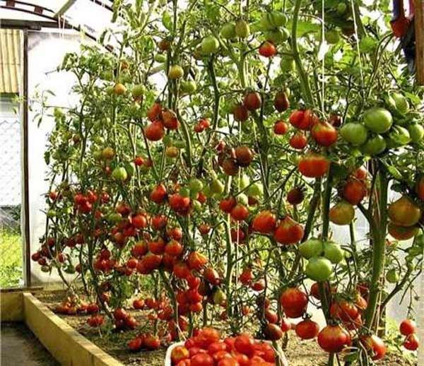 Реальное плодоношение томата Спрут в теплице