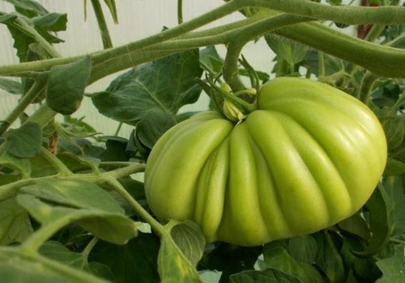 Крупный плод сорта Пузата хата на ветке