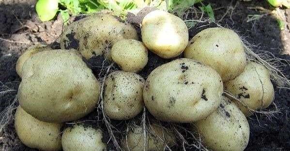 Если своевременно удобрять ботву, то его корнеплод впитает в себя все полезные вещества быстрее