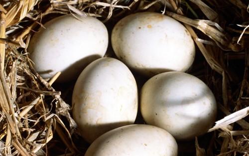 Яйца уток Мулардов
