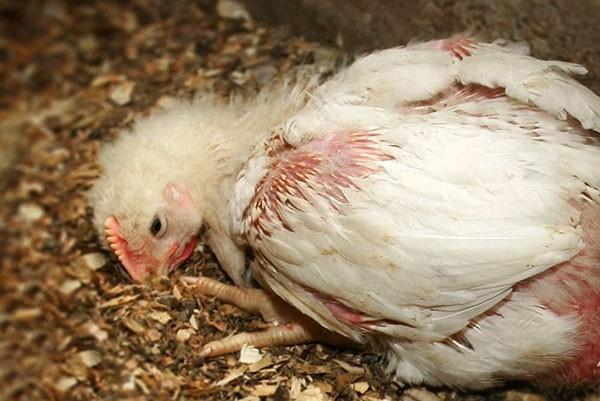 Цыпленок, больной кокцидиозом