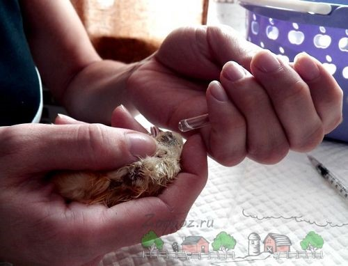 Прививать цыплят лучше всего на второй неделе их жизни