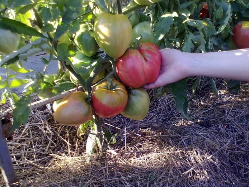 Плоды крупные, слегка вытянутые