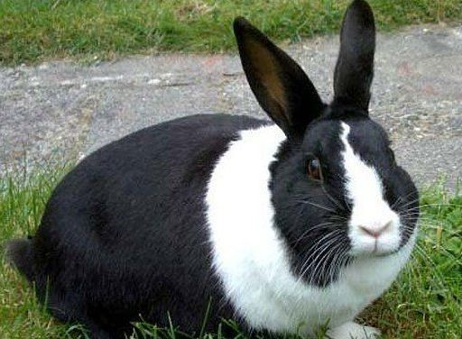 Лечим вздутие живота и газообразование у кроликов