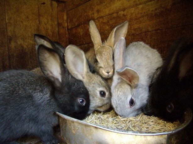Кормить крольчат, взрослых особей можно только качественными свежими кормами