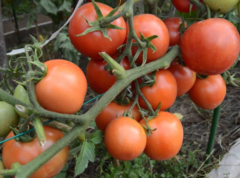 Сорт томата Ямал рекомендуется для салатов и цельноплодного консервирования