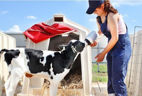 Перед выпаиванием телят нужно правильно приготовить молочную смесь