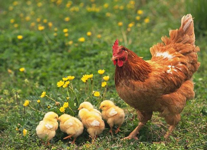 Весной выпускайте цыплят на свежий воздух. Птенцы очень любят копаться в траве, подстилке