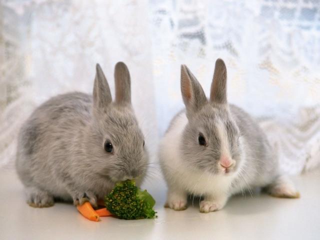 Вакцинировать от инфекционных болезней можно кроликов, начиная с 1,5-месячного возраста