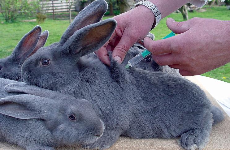 Иммунизацию беременных крольчих лучше доверить ветеринару