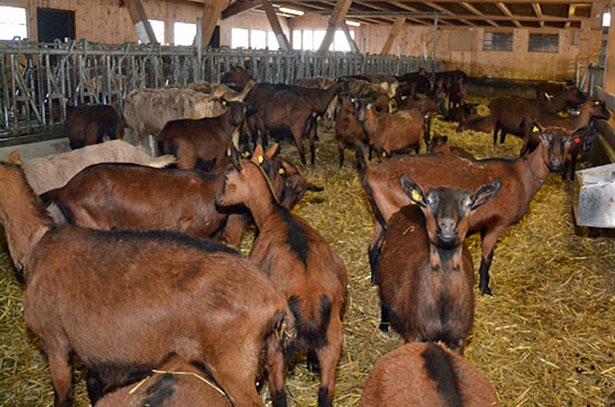 Чешские козы в помещении