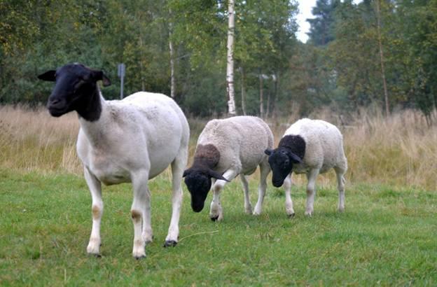 Пастбищный выпас овец