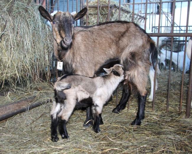 Чешская коза с детенышем