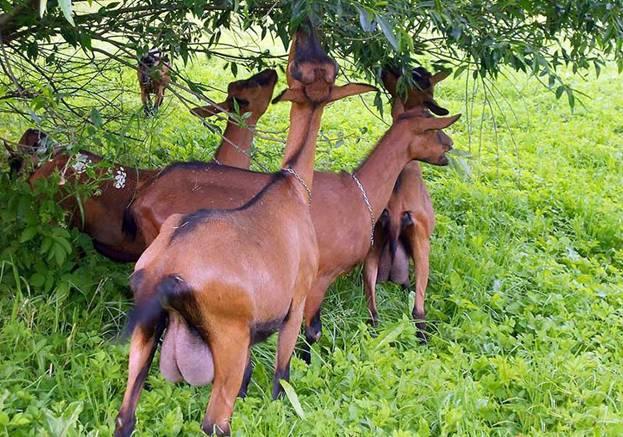 Стадо чешских коз на прогулке