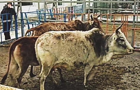 Мини-коровы зебу