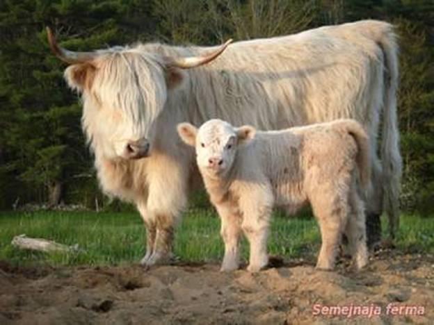 Ангусская карликовая корова с теленком