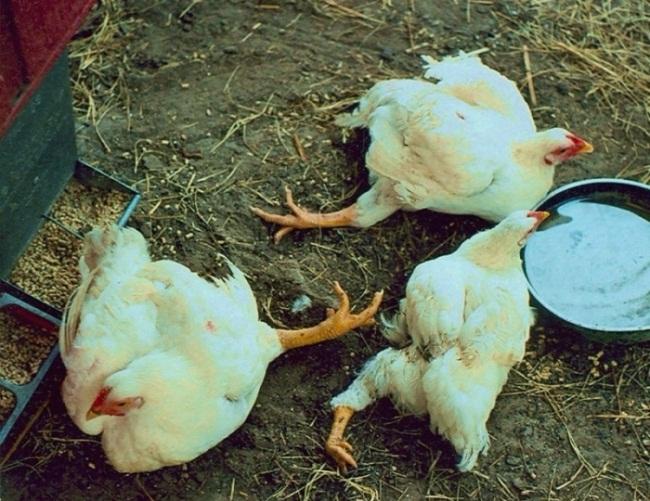 Цыплята упали на ноги