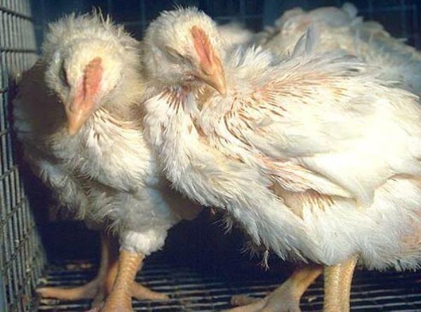 Колибактериоз у курочек