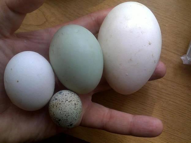 Самое большое яйцо — гусиное, чуть поменьше — утиное, еще меньше — куриное и самое маленькое — перепелиное