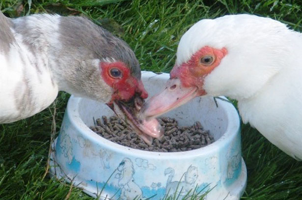 Поедание отрубей утками