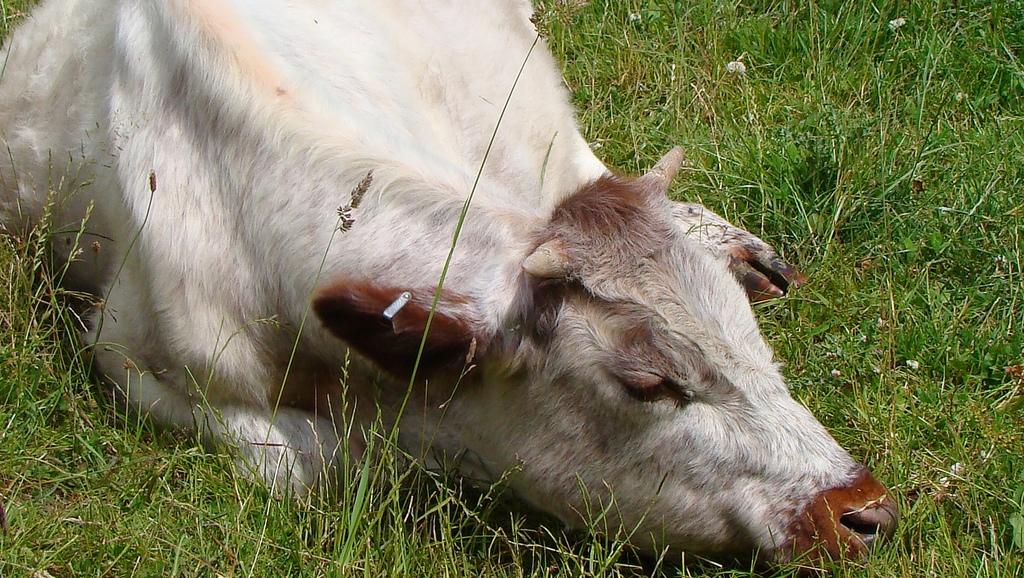 Какой должна быть температура тела у коровы