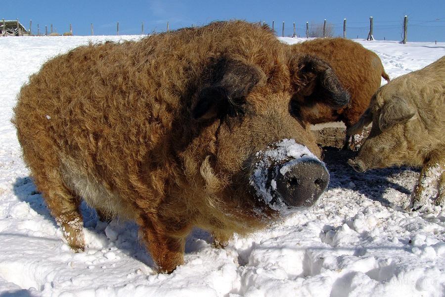 Свиньи породы Мангал