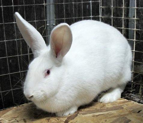 Кролик-гигант