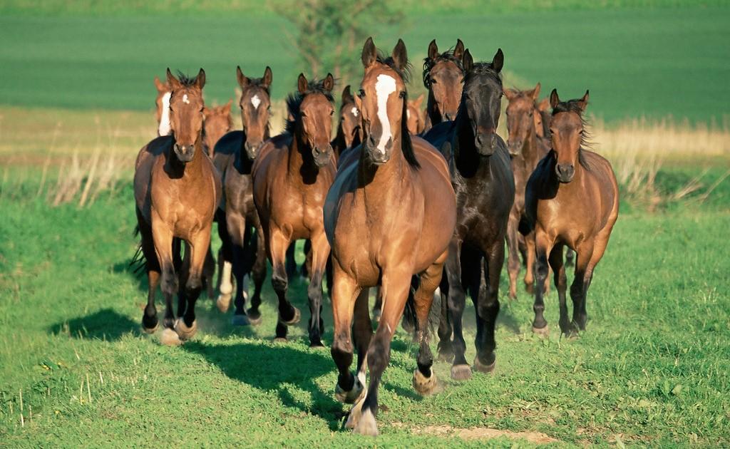 Откорм лошадей на мясо в домашних условиях