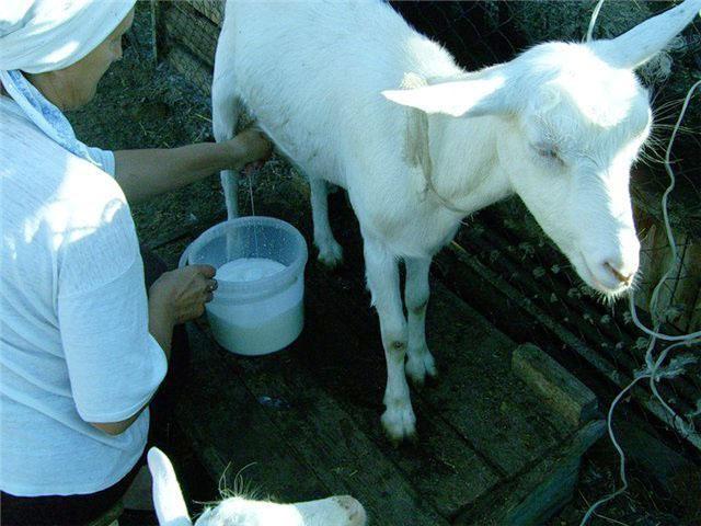 Доят козу