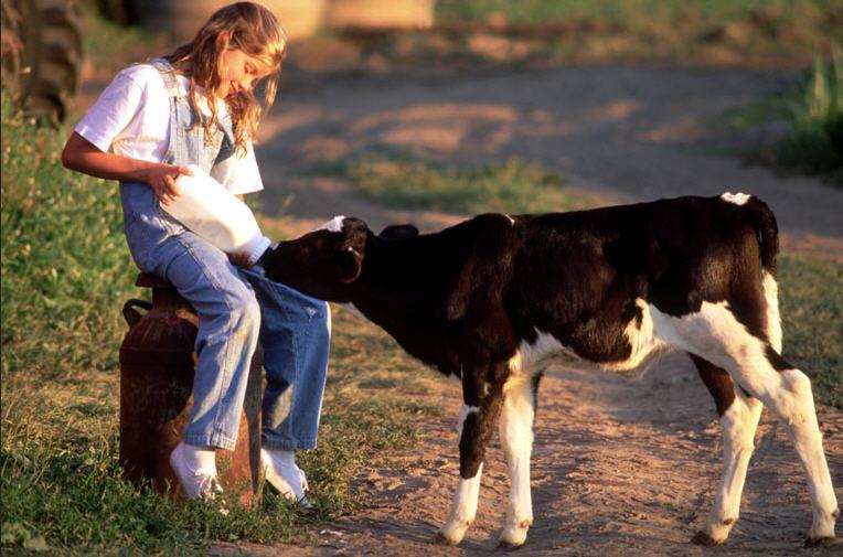 Кормление теленка