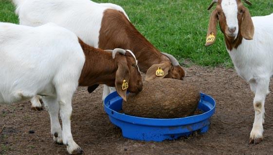 Козы едят
