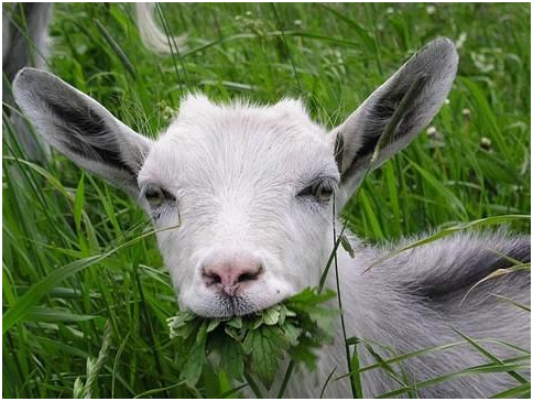 Коза кушает свежую траву