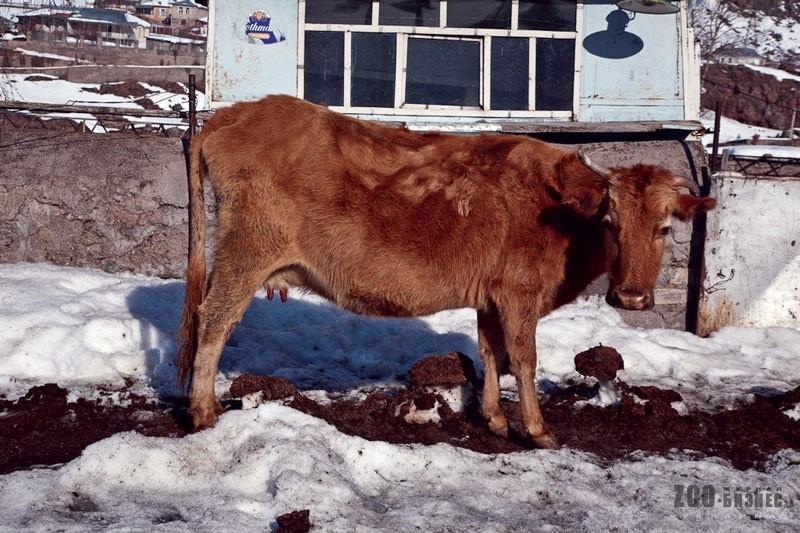 Корова, больная фасциолезом