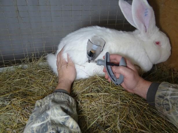 Кролику делают прививку