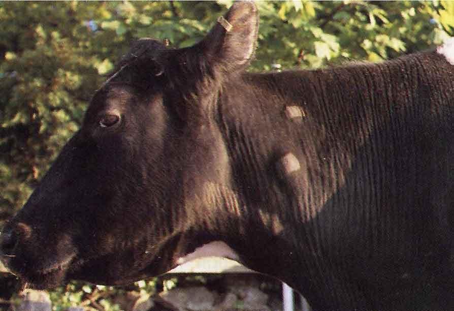 Корова, больная туберкулезом