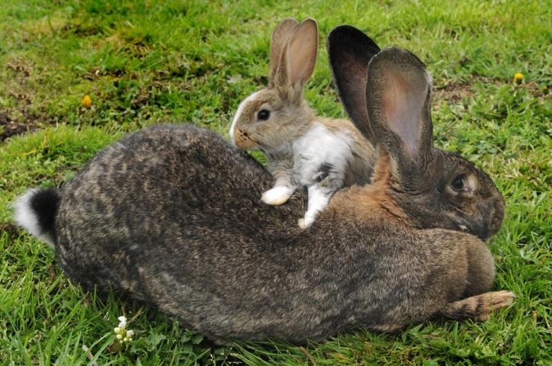 Как откормить кролика