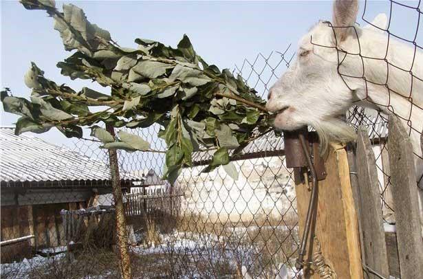 Коза ест веточный веник