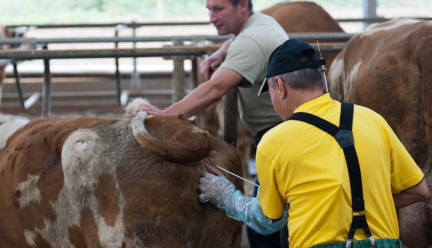 Осемененение коровы