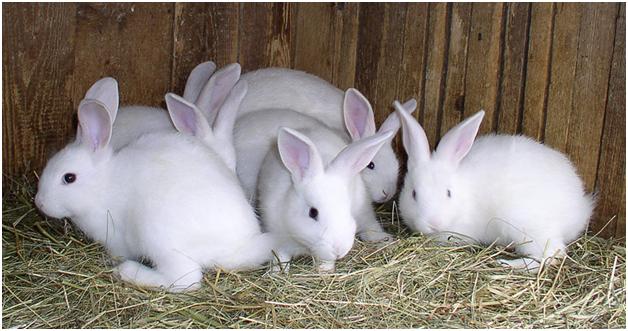 Выводок белых кроликов