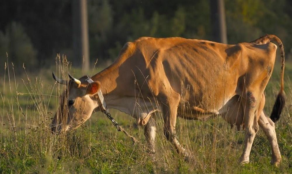 Корова, зараженная лейкозом