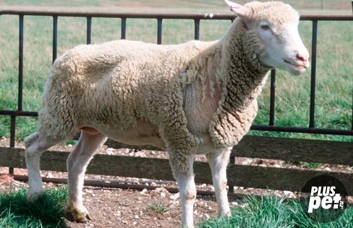 Чесотка у овец - Про паразитов