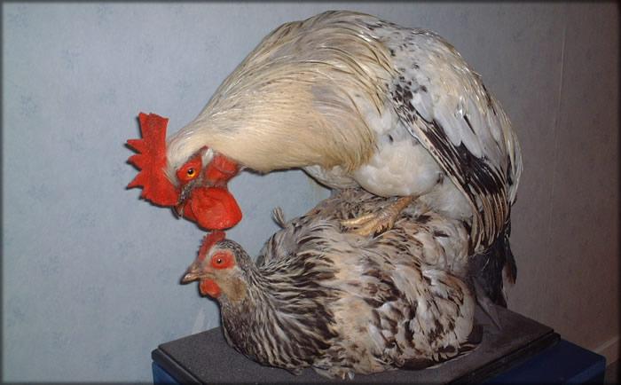 Размножение у кур