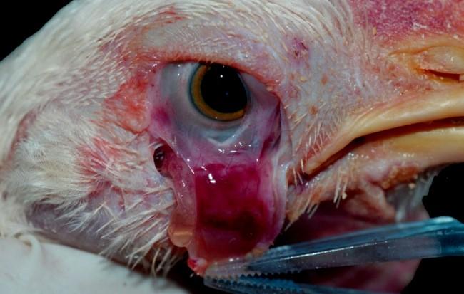 Болезни глаз у кур: конъюнктивиты, воспаления и др